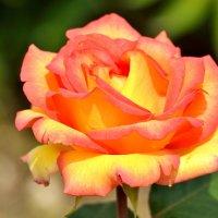 Розы моего сада :: Юрий