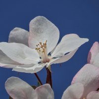 Цветет яблоня :: Александр Смирнов