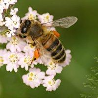 Пчела :: Сергей Владимирович Егоров