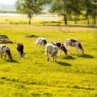 Коровы :: Марина Кириллова