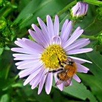 Гость на цветке :: Елена Семигина