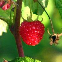 Малинка-ягодка... :: Юрий