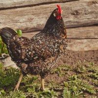 Учитесь, курицы, как позировать нужно ;))) :: Evgenija Enot