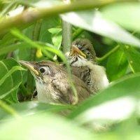 Птенцы болотной камышевки :: Константин Ординарцев