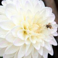 пчелка :: Olga