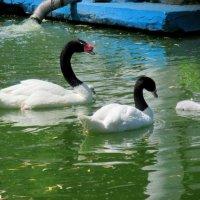 Семья черношейных лебедей :: Нина Бутко