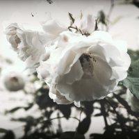 Белые цветы :: Людмила Самойлова