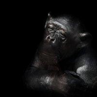 Шимпанзе :: олег