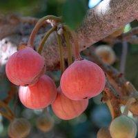 Сикомора  (сикомор) — плодовое дерево из рода фикусовых. :: Надя Кушнир