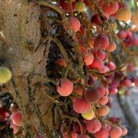 Сикомора  (сикомор).  Плоды похожи на инжир. :: Надя Кушнир