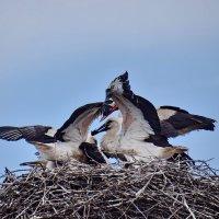 Ужин  мама  принесла  (..Редкое явление. В гнезде четыре птенца. ) :: Валера39 Василевский.