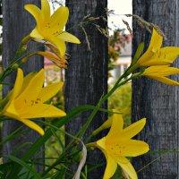 Цветы у калитки :: Валентина Данилова