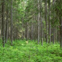 Июльский лес :: Aнна Зарубина