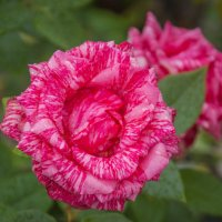 Роза :: Константин Поляков