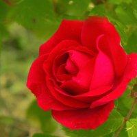 Розы  - розы  4 :: Юрий