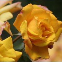 чайная роза :: Флоуффлурр Рроуфф-Ниирсс