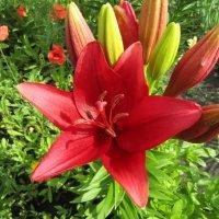 Я лилии любила с детства - они наш украшали двор.. :: Galaelina ***