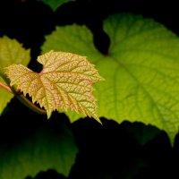 листья :: Наталья Сазонова