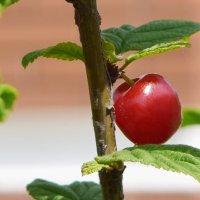 Красная ягодка. :: Татьяна Помогалова