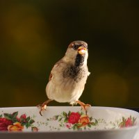 культурный воробей :: linnud