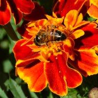 бархотки и пчелки :: linnud