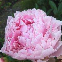 Пион в моем саду (2) :: Ekaterina Podolina