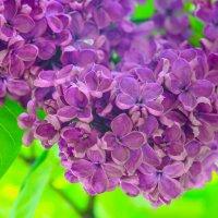 цветет сирень в Сиреневом саду :: Алексей Ларин