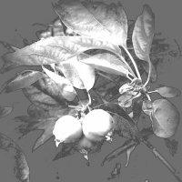 Будущие яблоки :: Marina Bernackaya Бернацкая
