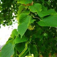 Эстафетацвета на Голосе. Зелёный четверг - полезные и нужные растения :: Наталья (ShadeNataly) Мельник