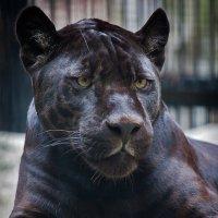 Черный ягуар :: Владимир Габов