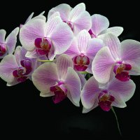Орхидея 1 :: Sergey Kiselev