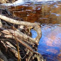 Šaknys /  Tree roots :: silvestras gaiziunas gaiziunas