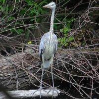 Застыв на брёвнышке, стоит большая птица :: Маргарита Батырева