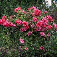 Плетистая роза. :: александр мак mak