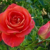 Розы в палисаднике. :: Чария Зоя
