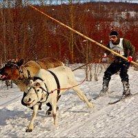 Весёлые олени... :: Кай-8 (Ярослав) Забелин