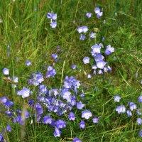 Колокольчики мои цветики степные- нынче полевые :: Валентина Папилова