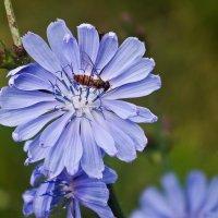 цветок цикория :: юрий иванов