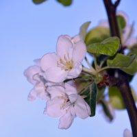 яблони цвет :: леонид логинов