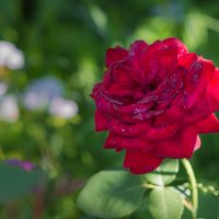 Роза :: cfysx