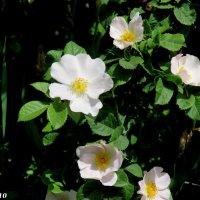 Шиповника цвет :: Нина Бутко