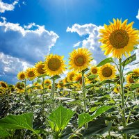 Подсолнухи пахнут солнечной свежестью... :: Елена Данько