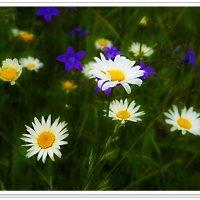 Полевые цветы :: Любовь Чунарёва