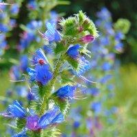 Лесные лекарственные растения :: spm62 Baiakhcheva Svetlana