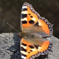 бабочка ,тепло :: леонид логинов