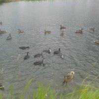 Лысухи и утки :: Сапсан