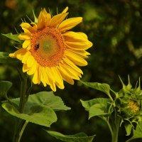 Солнечный цветок :: Alexander Andronik