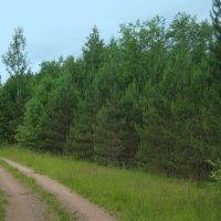 Сосны у лесной дорожки :: Татьяна