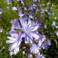 Цветки цикория :: Наиля