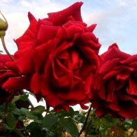 Алые розы :: Ольга
